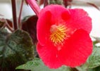 Achimenes `Bright Jewel`