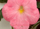 Achimenes `Cascade Evening Glow`