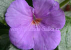 Achimenes `Drunken Sailor`