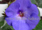 Achimenes `Ever Blue`