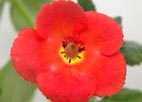 Achimenes `Orange Queen`