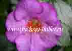Achimenes `Prince Of Windsor`