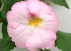 Achimenes `Royal Blush`