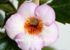 Achimenes `September Queen` (2013)