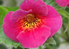 Achimenes `Strawberry Ice Cream`
