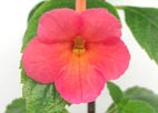 Achimenes `Sweet and Sour`