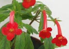 Achimenes electa `Tiny Red`