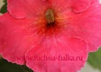 Achimenes `Tropical Punch`