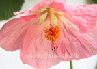 Abutilon `Bella Rose`